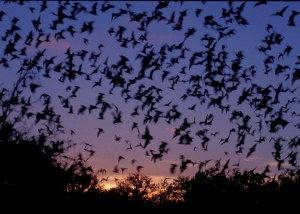 mexican-free-tailed-bat1